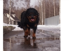 Фотография в Собаки и щенки Вязка собак Бурято-монгольский волкодав, кобель, возраст в Раменском 0