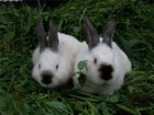 Фотография в   Продам чистопородных калифорнийских кроликов в Рязани 300