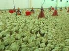 Смотреть фотографию Птички и клетки Продам птенцов индейки подрощенных 69588674 в Рязани