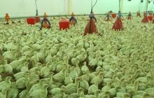 Продам птенцов индейки подрощенных