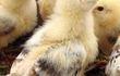 Продаю суточных цыплят Мастер Грей. Вывод