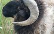 Продаю чистокровных овечек Эдельбаевской