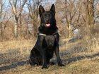 Скачать бесплатно фото  Продаются высокопородные щенки немецкой овчарки 32603573 в Ростове-на-Дону