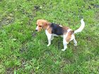 Foto в   Пропала собака породы Бигль! 29 августа в в Ростове-на-Дону 0