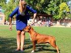 Изображение в Собаки и щенки Вязка собак Предлагается к вязке отличный крупный кобель в Ростове-на-Дону 0