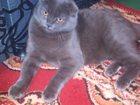 Фото в Кошки и котята Вязка Британский вислоухий котик, чистой породы, в Ростове-на-Дону 0
