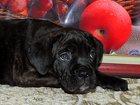 Фото в Собаки и щенки Продажа собак, щенков Открыта бронь на качественных щенков пары в Омске 0