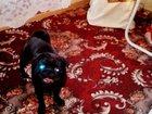 Фотография в Собаки и щенки Вязка собак 2годовала девочка черного окраса ищет черного в Ростове-на-Дону 0