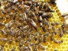 Фото в   Продаю пчелопакеты КАРПАТКА . Продажа будет в Ростове-на-Дону 0