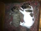 Фото в   Отдам щенков метиса: 2 мальчика и девочка в Ростове-на-Дону 100