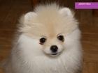 Изображение в Собаки и щенки Продажа собак, щенков Продаются очень красивые щенки померанского в Ростове-на-Дону 20000