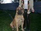Изображение в Собаки и щенки Продажа собак, щенков Питомник молосских пород собак предлагает в Ростове-на-Дону 25000
