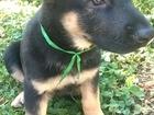 Фотография в Собаки и щенки Продажа собак, щенков Малышам пока 1, 5 месяцев, но мы уже готовы в Ростове-на-Дону 15000