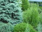 Смотреть foto Растения Хвойные посадочный материал 37059005 в Ростове-на-Дону
