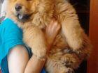 Изображение в Собаки и щенки Продажа собак, щенков Продается подрощенный щенок породы чау-чау, в Ростове-на-Дону 20000