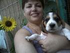 Фотография в Собаки и щенки Продажа собак, щенков Продаются чистопородные щенки Бигля. Родились в Ростове-на-Дону 0