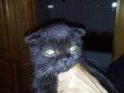 Фото в Кошки и котята Продажа кошек и котят Продается котенок британской породы вислоухий. в Ростове-на-Дону 2000