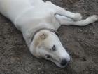Смотреть изображение Вязка собак Красавец среднеазиат (алабай) ждет свою невесту 37541470 в Ростове-на-Дону
