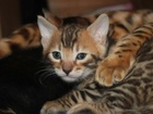 Фотография в   Вы ищите котенка с грацией дикого леопарда? в Ростове-на-Дону 35000