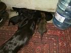 Фото в   Продаются щенки длинношерстной таксы (4 мальчика) в Ростове-на-Дону 5000
