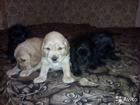Изображение в Собаки и щенки Продажа собак, щенков Маленькие принцески спаниельки ищут навый в Ростове-на-Дону 2500
