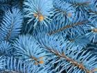 Свежее изображение Растения Ель голубая 10 метров к Новому Году 37973165 в Ростове-на-Дону