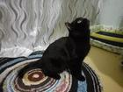 Новое фото  Кот-британец (чёрный) ищет кошку для вязки 38330827 в Ростове-на-Дону