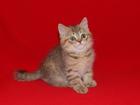 Изображение в Кошки и котята Продажа кошек и котят Nikolas Art`s Family - неотразимо привлекательный в Ростове-на-Дону 8000