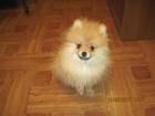 Фото в Собаки и щенки Продажа собак, щенков Продается померанцевый шпиц, мальчик. Рождение в Ростове-на-Дону 30000