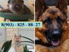 Изображение в Собаки и щенки Продажа собак, щенков НЕМЕЦКОЙ ОВЧАРКИ ярких красивеенных щеночков в Ростове-на-Дону 8000