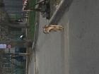 Изображение в   На Стачки 215 5 апреля видела пыльного спаниеля в Ростове-на-Дону 0