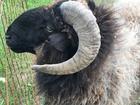 Смотреть изображение Другие животные Овечки Эдельбаевской породы 38908420 в Ростове-на-Дону