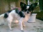 Свежее фотографию Потерянные Пропала собака чихуахуа 39038743 в Ростове-на-Дону