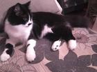 Скачать фото Вязка кошек вязка молодой кошечки 1год 58426197 в Ростове-на-Дону