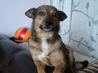 Скачать foto Отдам даром - приму в дар Отдадим в хорошую семью собаку для дома - Ириску 59760747 в Ростове-на-Дону