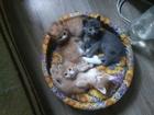 Просмотреть фото Отдам даром - приму в дар Ласковые котята норвежской кошки 68118415 в Ростове-на-Дону