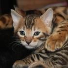 Роскошный котенок бенгальской породы с документами