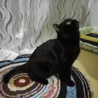 Кот-британец (чёрный) ищет кошку для вязки
