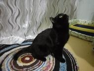 Кот-британец (чёрный) ищет кошку для вязки Кот ищет кошку для вязки , ухоженный,