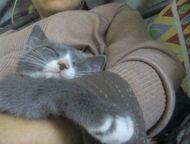 Помогите найти 8 мая пропала кошечка Катюша! Серо-белая дворянка, 9 месяцев. Оче