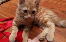 Отдам рыжего котенка