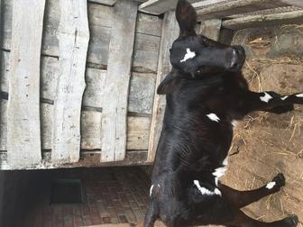 Новое фото Другие животные Продаются КРС 36597967 в Ростове-на-Дону