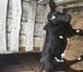 Фото в Домашние животные Другие животные Из личного подворья продаем трехнедельную в Ростове-на-Дону 0