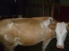 Новое изображение  ▲Продается хорошая корова▲ 36688938 в Рубцовске
