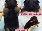 Фото в Собаки и щенки Продажа собак, щенков Чистокровных крупных щеночков Немецкой Овчарки в Рыбинске 6000