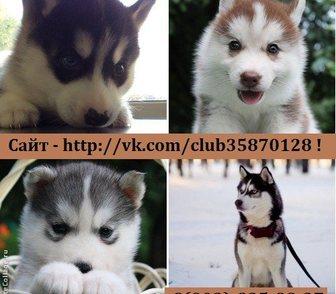 Фотография в Собаки и щенки Продажа собак, щенков Щенки хаски продам недорого от 10 тысяч. в Рыбинске 0