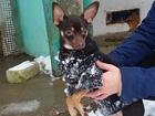 Смотреть фото Вязка собак Ищем невесту для нашего жениха 37950280 в Ржеве