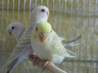Уникальное изображение Птички Волнистые попугаи 38520323 в Ржеве