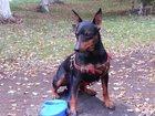 Просмотреть фотографию Вязка собак ищем невесту для вязки 34232704 в Салавате