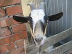 Смотреть изображение Другие животные Продаётся коза 38445363 в Сальске